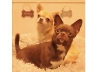 KC registered chihuahuas EXPECTING puppies