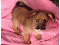 Yorkshire terrier cross papillon girl puppy