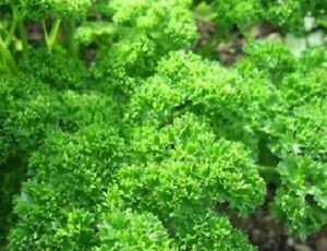 3-000-Parsley-Moss-Curled-Herb-Seeds