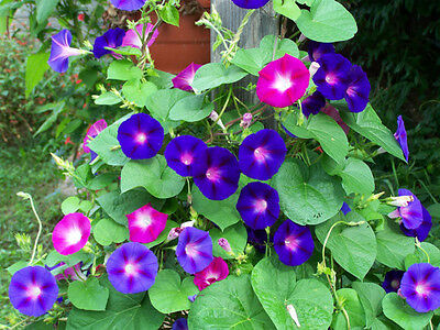 morning glory mix, red/ blue flowers, 20 ...