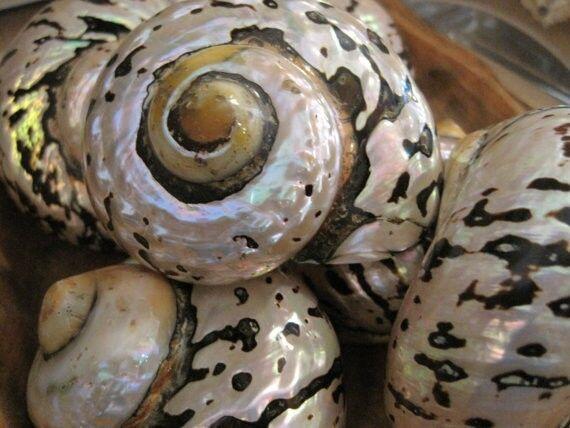 Beach Decor Turbo Sarmarticus Shell - Seashell, Natural, Beach Decor, Home Decor