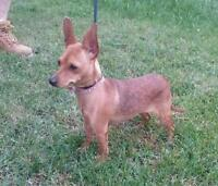 """Young Female Dog - Miniature Pinscher-Chihuahua: """"Marlee"""""""