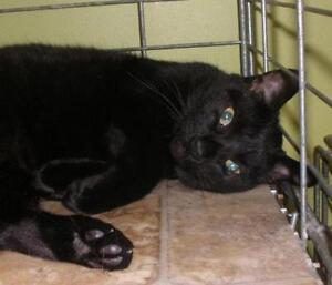 "Adult Male Cat - Domestic Short Hair: ""Captain Hook 16 (Curtis)"""