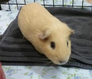 """Adult Male Small & Furry - Guinea Pig: """"Hippo"""""""