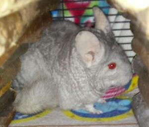 "Adult Female Small & Furry - Chinchilla: ""Elsa"""