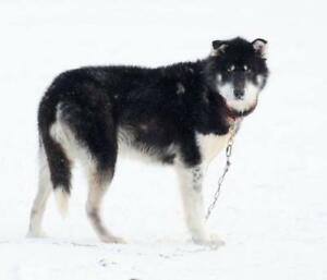 "Adult Male Dog - Husky: ""Sunny"""