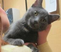 "Adult Male Cat - Domestic Short Hair-gray: ""Jack"""
