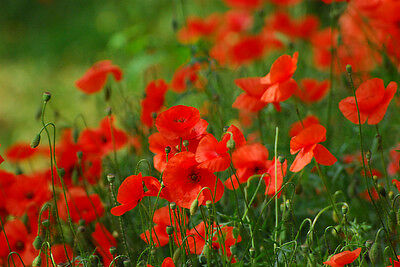 FLOWER CORN RED FIELD POPPY 10 GRAM 70,000 SEEDS - FLANDERS - PAPAVER RHOEAS