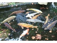 Various Large Koi, Ghost, Common and Mirror Carp for Sale