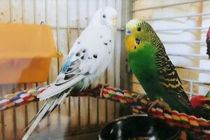 Two Budgies still missing as of oct. 6 2017