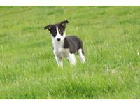 border collie dog pup
