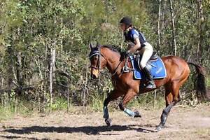 11 year old TB x SH, 15 hands Bay Gelding Canungra Ipswich South Preview