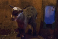 "Mother 'Pygmy"" Goat and Baby Girl"