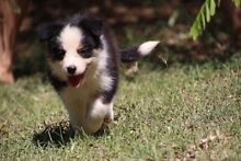 Pedigree registered Purebred Border Collie Pups available Lissner Charters Towers Area Preview