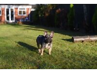 Kc reg 14month sable quad male french bulldog for sale