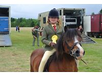 Stunning Welsh Mountain pony, section A for sale (Ronny). 11.3hds. Bay.