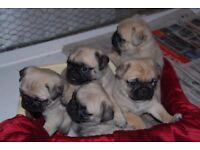 Pug puppies for free