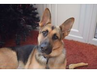 (Free) 5yr old pedigree German Shepherd (male) needs new home due to house move