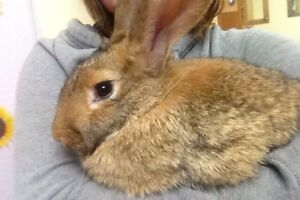 Flemish giant bunny only 5 months old