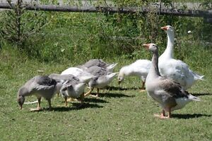 Young pilgrim geese (sold pending pickup)