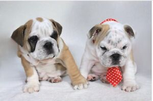PUREBRED BRITISH BULLDOG PUPPIES WITH PAPERS! Brisbane City Brisbane North West Preview