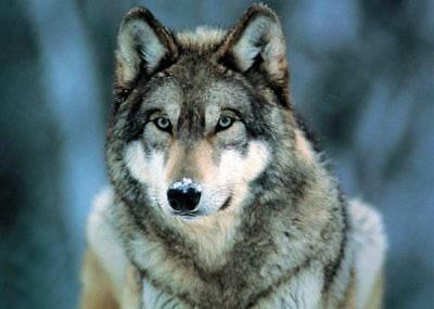 Grey Wolf - Mini Poster 50cm x 40cm new and sealed