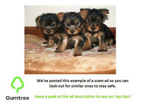 adorable miniature Yorkshire terrier puppies -- Read the ad description before replying to this ad!!