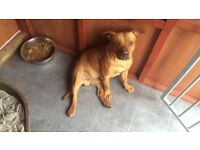 Staffordshire bull terrier male dog, 1 Year and 11 Months old, Stunning dog