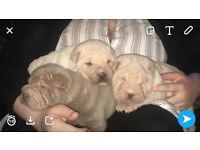 Three Shar pei girls for sale (one lilic and two thorn)