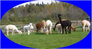 Alpaca Herd for sale