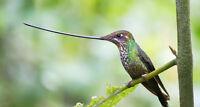 ECUADOR ANDES & AMAZON BIRD PHOTO SAFARI