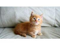 Beautiful kittens ragdoll cross