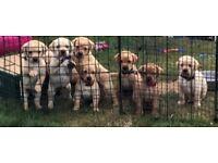 Yellow Labrador Pups