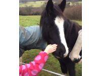 Companion pony for loan