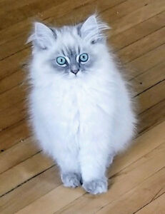 Lynx Point Male Himalayan Kittens