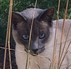 Missing Siamese Kitchener / Waterloo Kitchener Area image 2