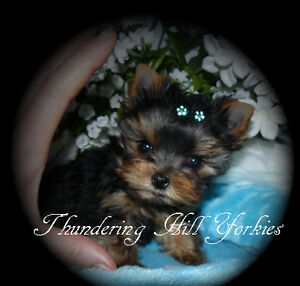 Yorkies, Yorkshire Terrier Tiny Baby Doll Yorkie Puppies