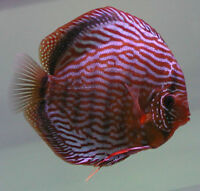 Award Winning Stendker Discus Available in Ontario