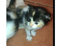 Calico kittens for sale