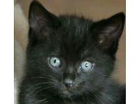 Beautiful bsh x bengal kitten