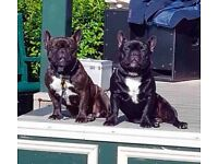 4 French Bulldog Puppies - ready to leave