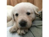 Golden Retriever x Lablador puppies for sale