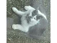 Fluffy white and grey long hair cat gone missing in the Cabrach