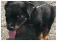 Big boned Rottweiler puppy