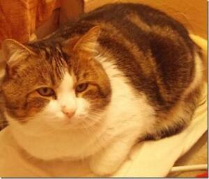 """Adult Male Cat - Tabby: """"COURTESY LISTING Livy"""""""