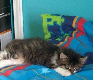 """Baby Male Cat - Domestic Long Hair: """"Cooper"""""""