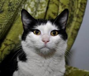 """Young Male Cat - Domestic Short Hair-black and white: """"George"""""""