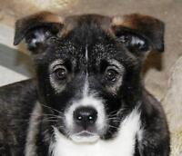 "Baby Female Dog - Husky-Labrador Retriever: ""TYRA"""