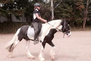 Stunning and Well Mannered Gypsy Cob x Clydie Stallion Mulgoa Penrith Area Preview