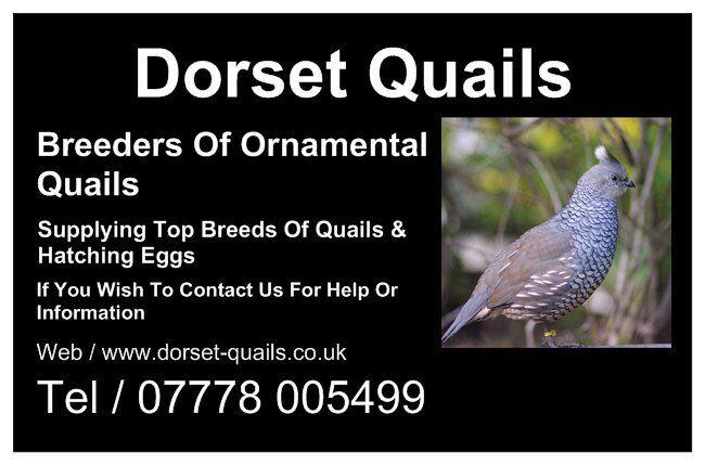 dorset-quails